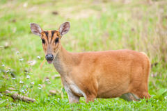 Barking deer in a field of grass ,Khao Yai National Park Royalty Free Stock Image