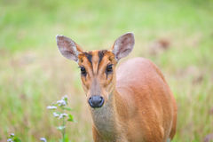 Barking deer in a field of grass ,Khao Yai National Park Royalty Free Stock Images