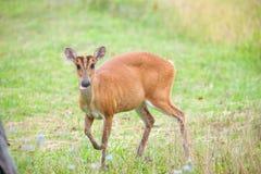 Barking deer in a field of grass ,Khao Yai National Park Stock Photos