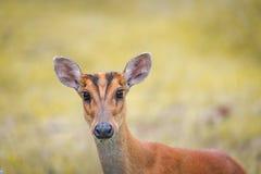 Barking deer in a field of grass ,Khao Yai National Park Stock Images