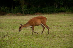 Barking deer in forest. Royalty Free Stock Photos