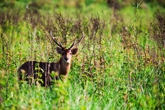 Barking deer in forest Stock Photos