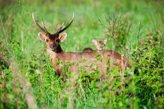 Barking deer in forest Royalty Free Stock Photo