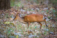 Barking deer with habitat. Barking deer faun sighted in bhadra tiger reserve of India Stock Image