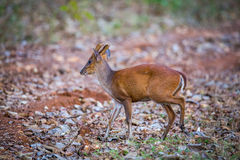 Barking deer with habitat. Barking deer faun sighted in bhadra tiger reserve of India Royalty Free Stock Images