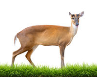 Barking deer isolated. Barking deer with green grass isolated on white background Royalty Free Stock Photos