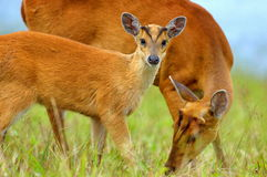 Barking deer. In Kao Yai National Park Stock Photos