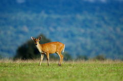 Barking deer. In Kao Yai National Park Royalty Free Stock Image