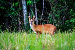 Barking deer Royalty Free Stock Image