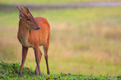 Barking deer in khaoyai national park Stock Photo