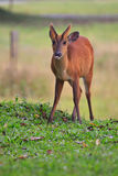 Barking deer in khaoyai national park Stock Images