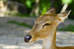 Barking deer in khaoyai, Thai Royalty Free Stock Images