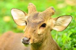 Barking deer in khaoyai, Thai Royalty Free Stock Photo