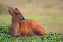 Barking deer lying on natural field with blur background Stock Images