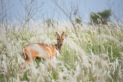 Barking deer in meadow Stock Images