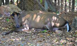 Barking deer Stock Image