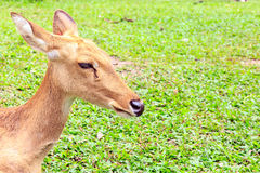 Barking deer. Or  Muntjac it stay around in india and china Royalty Free Stock Images