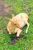 Barking deer. Or  Muntjac it stay around in india and china Stock Image