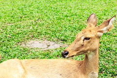 Barking deer. Or  Muntjac it stay around in india and china Stock Photo