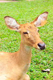 Barking deer. Or  Muntjac it stay around in india and china Stock Images