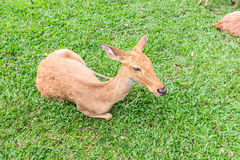 Barking deer. Or  Muntjac it stay around in india and china Stock Photos