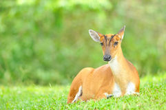 Barking Deer or Muntjac, Thailand Stock Photography