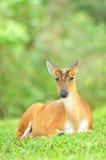 Barking Deer or Muntjac, Thailand Royalty Free Stock Image