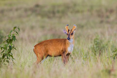 Barking Deer (Muntjacs or Mastreani deer). Stair at us in nature at Khaoyai national park,Thailand Royalty Free Stock Image