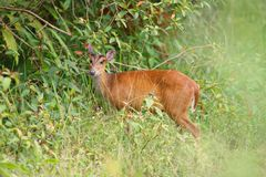 Barking deer in nature forest. Barking deer;the native animal of south and south east asia Stock Photos