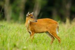 Barking deer. In nature of Khao Yai National park, Thailand stock photos