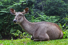 Barking deer. One kind of the deer in degradation forest or are cleared Royalty Free Stock Photo