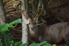 Barking deer in the park Royalty Free Stock Image