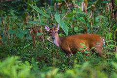 Barking deer portrait. Canon 6D 400mm ISO 600 1/2500 f4.0 Royalty Free Stock Photography
