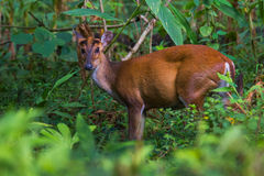 Barking deer portrait Closeup. Canon 6D 400mm ISO 600 1/2500 f4.0 Stock Photo