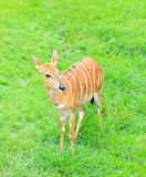 Barking deer. Portrait of cute barking deer on meadow Stock Image