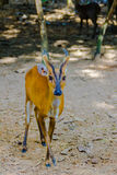 Barking Deer, or Red Muntjac in common name or Muntiacus muntjak. In Scientific name at the open zoo Royalty Free Stock Image