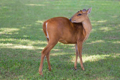 Barking deer relaxing time Stock Photography