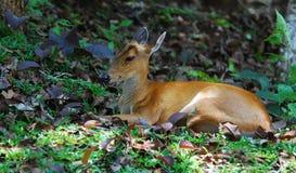 Barking Deer. A Barking Deer is rest under the shade of trees Stock Image