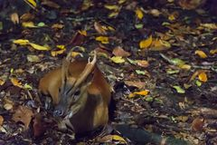 Barking deer resting in a dark forest during night. The Indian muntjac Muntiacus muntjak, also called red muntjac and barking deer, is a common muntjac deer Stock Photo