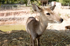 Barking deer in Thailand. Stock Photography
