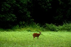 Barking deer Royalty Free Stock Photo