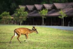 Barking deer walking in a field Stock Photography