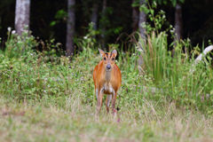 Barking deer. Wildlife preservation in Thailand Royalty Free Stock Photo