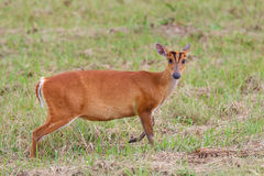 Barking deer. Wildlife preservation in Thailand Royalty Free Stock Images