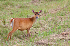 Barking deer Stock Images