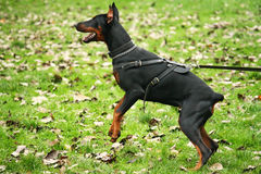 Barking doberman. Young barking sleuthhound on the garden Royalty Free Stock Photo