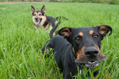 Barking doberman Stock Photo
