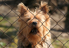 Barking dog. Barking guard dog - Australian silky terrier Stock Photo