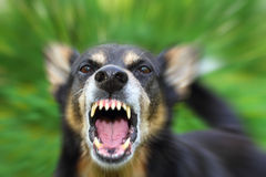 Barking dog. Barking enraged shepherd dog outdoors