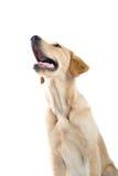 Barking dog. A happy large dog barking stock photo